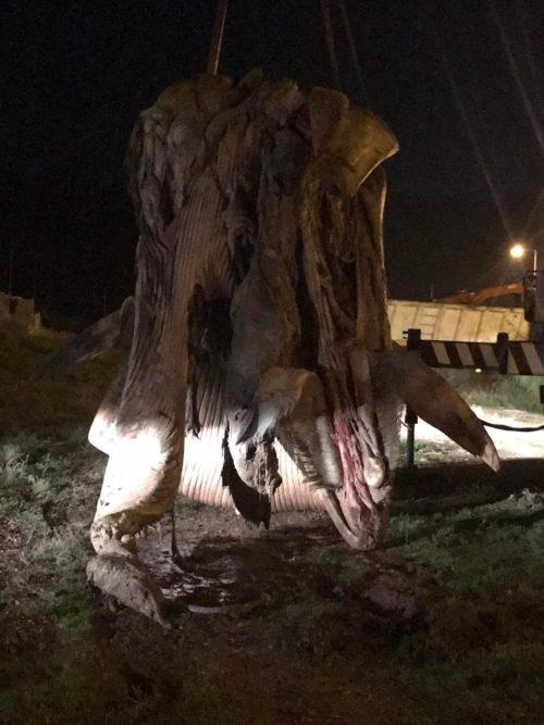 Απομακρύνθηκε η νεκρή φάλαινα που ξεβράστηκε στον Πειραιά