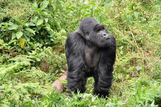 Μεγάλοι πίθηκοι του ζωολογικού κήπου του Σαν Ντιέγκο εμβολιάσθηκαν κατά της Covid-19