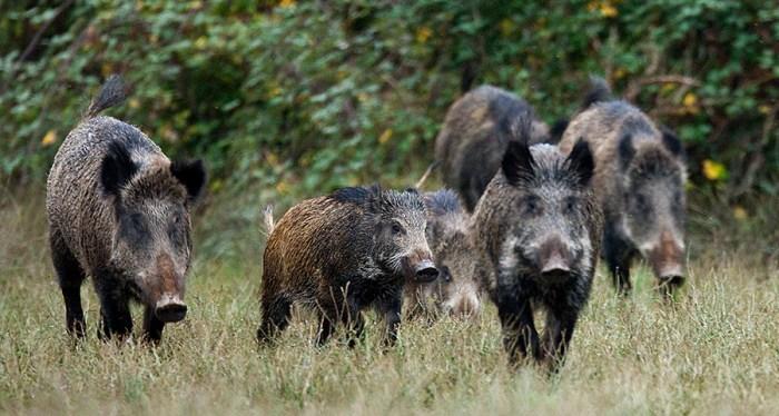 Η αύξηση των λύκων στην Πάρνηθα έστειλε τα αγριογούρουνα στα Βόρεια Προάστια